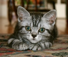 Image of American Shorthair silver tabby kitten resting on Carpet