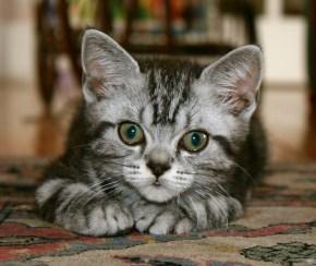 Image of American Shorthair silver tabby kitten resting on Carpet