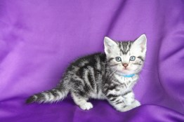 Image of silver tabby American Shorthair kitten with blue collar