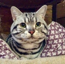 Image of American Shorthair silver tabby cat in purple cat bed with large round emerald green eyes and necklaces face