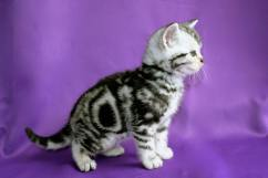 Image of American Shorthair silver tabby kitten with perfect bullseye