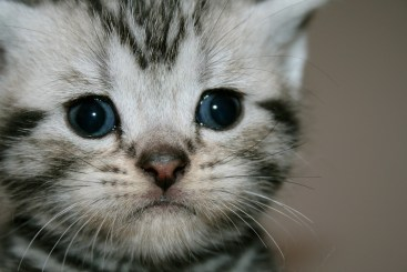 Close up Image of American Shorthair silver tabby kitten face