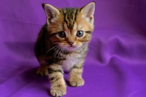 Image of American Shorthair golden brown tabby kitten on purple backdrop
