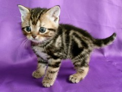 Image of Golden Brown Tabby American Shorthair kitten