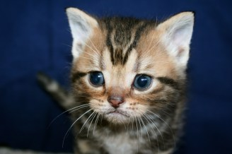 Close-up Image of Golden Brown Tabby American Shorthair kitten