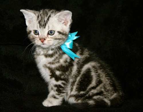 Image of American Shorthair silver tabby kitten with blue ribbon