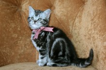 Image of American Shorthair silver tabby kitten with red checkered collar