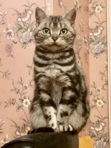 Image of American Shorthair silver tabby cat perched on back of Chair
