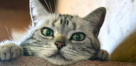 Image of American Shorthair silver tabby with green eyes Peeking over edge of shelf