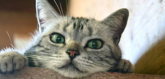 Image of American Shorthair silver tabby with green eyes Peeking over edge of shelf