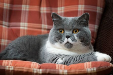 Web Image of China NW Snowdance Melan British Shorthair Cat