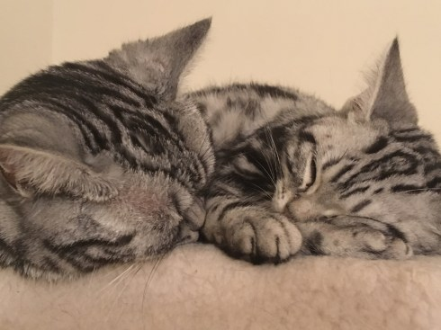 Image of two silver tabby American Shorthair cats napping
