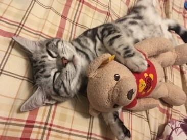 Image of silver tabby American Shorthair kitten sound asleep with stuffed toy bear