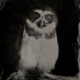 [Silver Sunbeam] Birds of Prey Tintypes - Andy Martin - 4