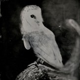 [Silver Sunbeam] Birds of Prey Tintypes - Andy Martin - 7