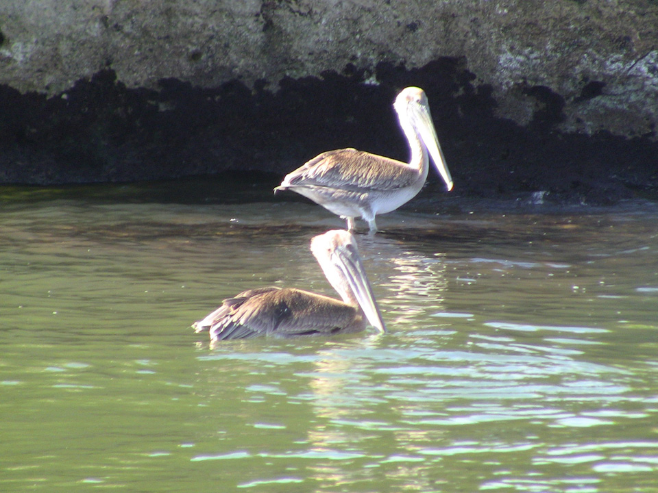 Pelicans at Los Haitises National Park