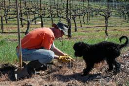 Pinot the Winery Dog is helping Phil in the Vineyard