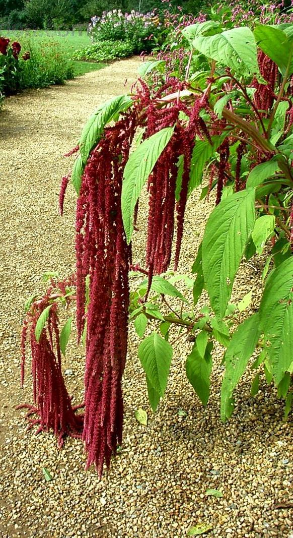 LOVE LIES BLEEDING amaranthus caudatus