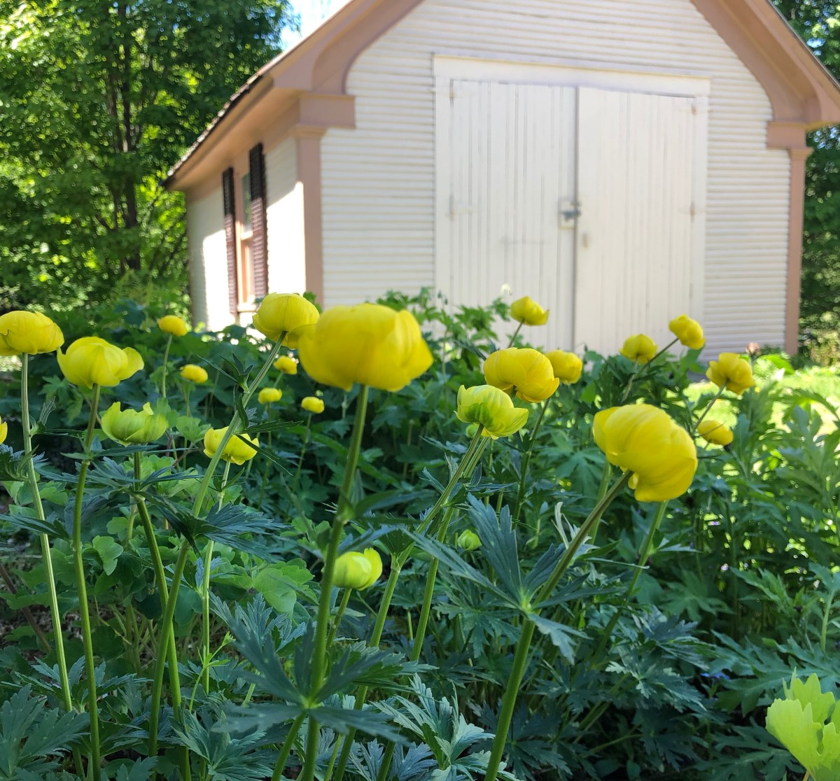 Globeflower, Trollius europeaus