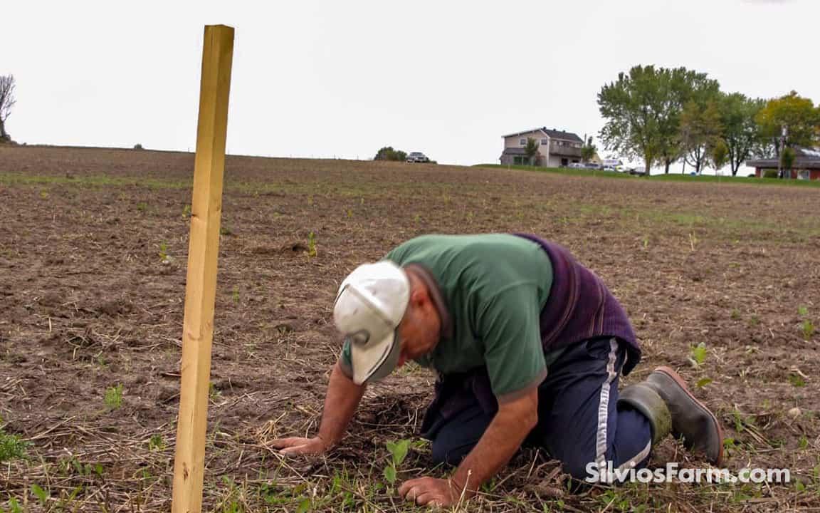 Silvio Plants his Last Aronia Plant