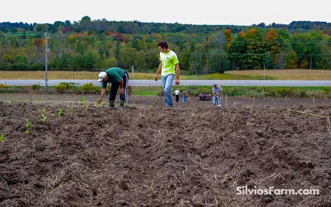 Aronia Planting Crew at Silvio's Aronia Farm in Port Perry ON Canada