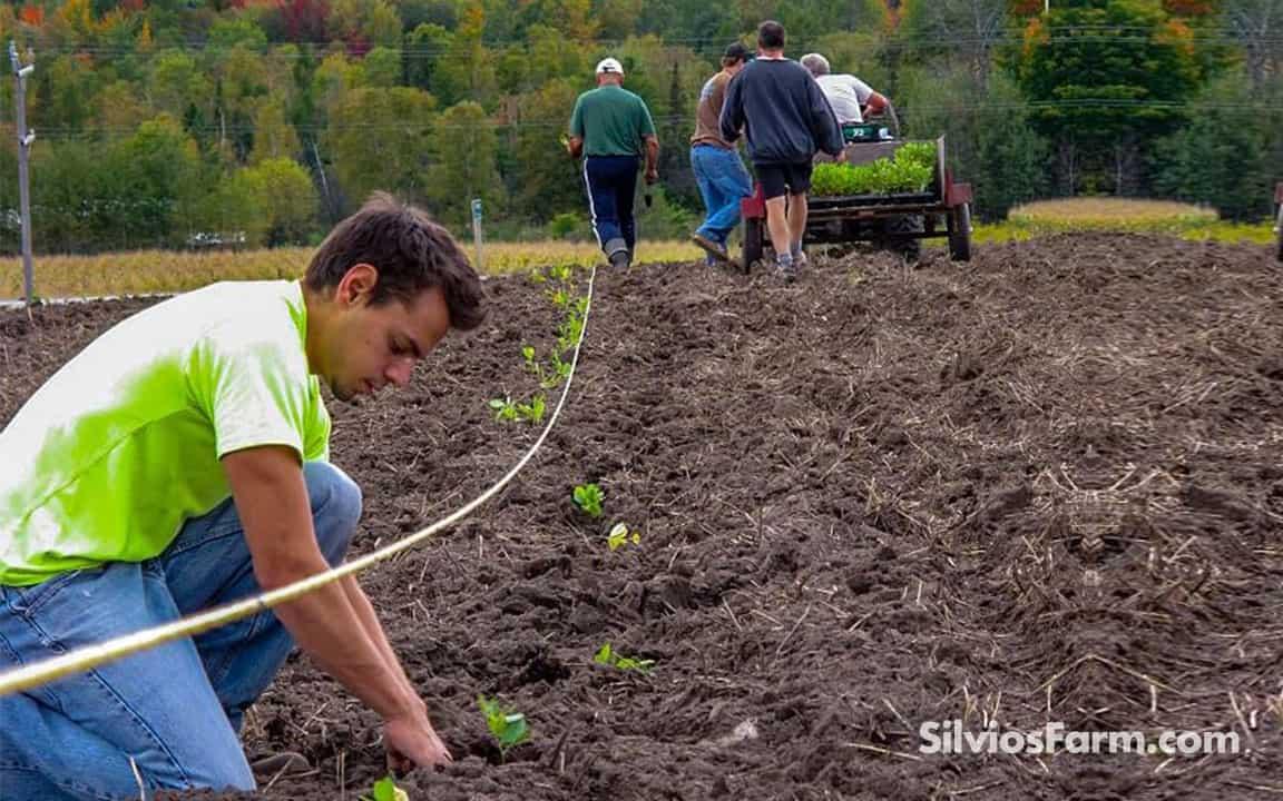 Planting Aronia Berry Bushes