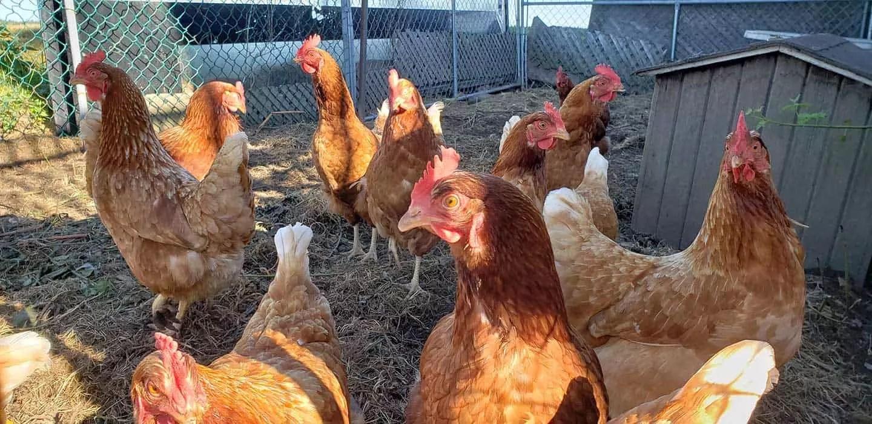 Chickens at Silvio's Aronia Farm in Port Perry ON Canada