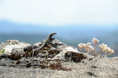 Lizard in Baden 2013, © Silvio Suter