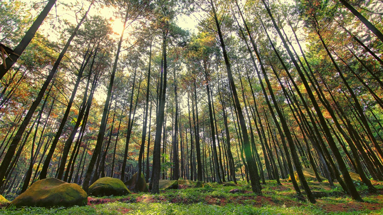 Piknik ala Twilight di Hutan Pinus Gunung Pancar  Males Mandi