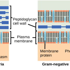 Gram Positive Cell Wall Diagram Au Falcon Wiring Manual Outer Membrane Proteins Simbac  Simulations Of