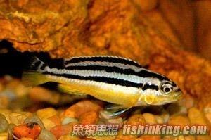 非洲鳳凰   香港水族網