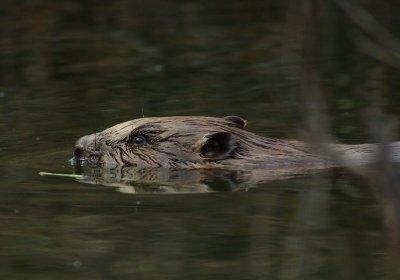 Los castores reducen el impacto de la agricultura sobre los ríos