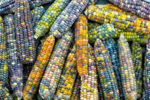 Glass Gem Corn (Gema de Cristal) Una fascinante variedad de maíz multicolor
