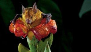 Murciélagos: los otros polinizadores