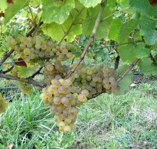 El vino que bebes hoy es nieto de una vid cultivada hace siglos
