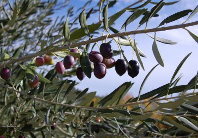 Conservar los olivares, un esfuerzo rentable y necesario