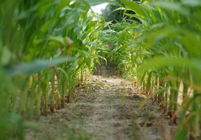 Secar las adventicias, conservar los cultivos.
