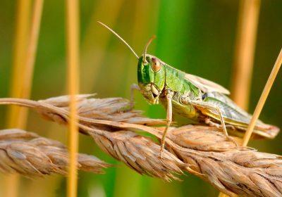 Los Entomopatógenos, Control Biológico de Plagas