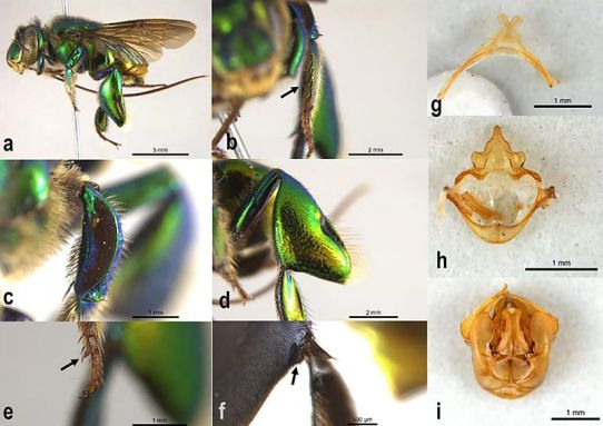 Identifican tres nuevas especies de abejas en Colombia