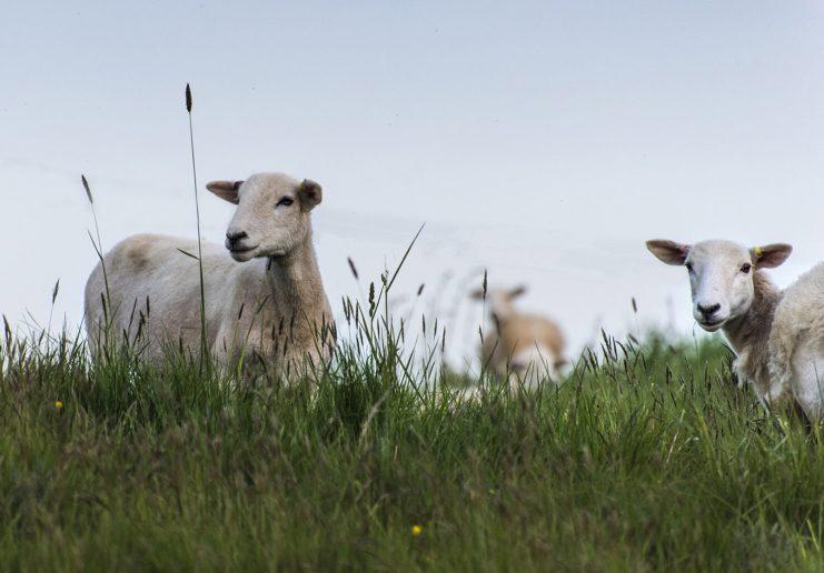 Los jóvenes ganaderos de California están encontrando nuevas formas de criar ganado y mejorar la tierra