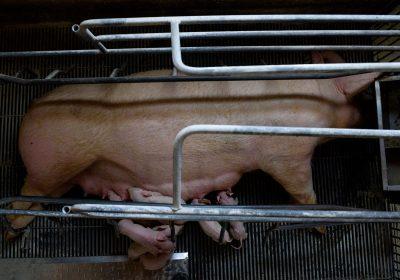 Peste Porcina Africana: Un futuro cultivado en granjas industriales.