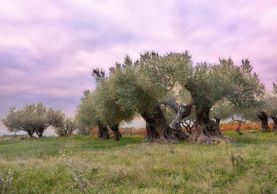 Millones de microorganismos unidos, responsables de la verticilosis que ataca el olivo