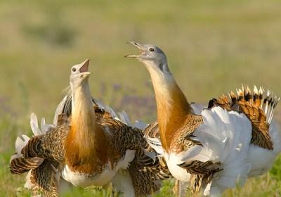Barbecho para reconciliar a las aves con la agricultura