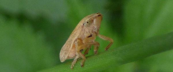 Los insectos que propagan la 'Xylella fastidiosa' viajan más de lo que se pensaba