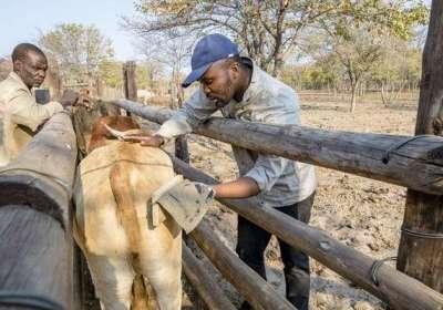 Es menos probable que los leones ataquen al ganado con los ojos pintados en el trasero