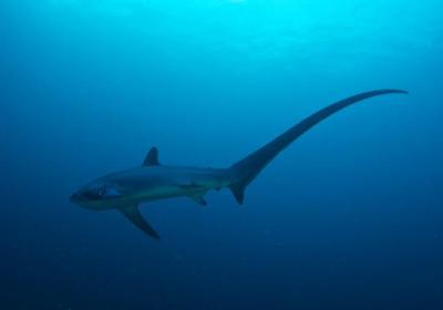 La sobrepesca 'engulle' más del 70 % de tiburones y rayas en el último medio siglo