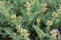 Recuperadas 17 especies de plantas europeas que se creían extintas