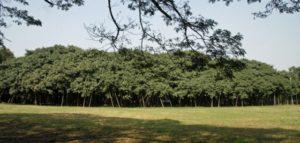 the_great_banyan_tree_03