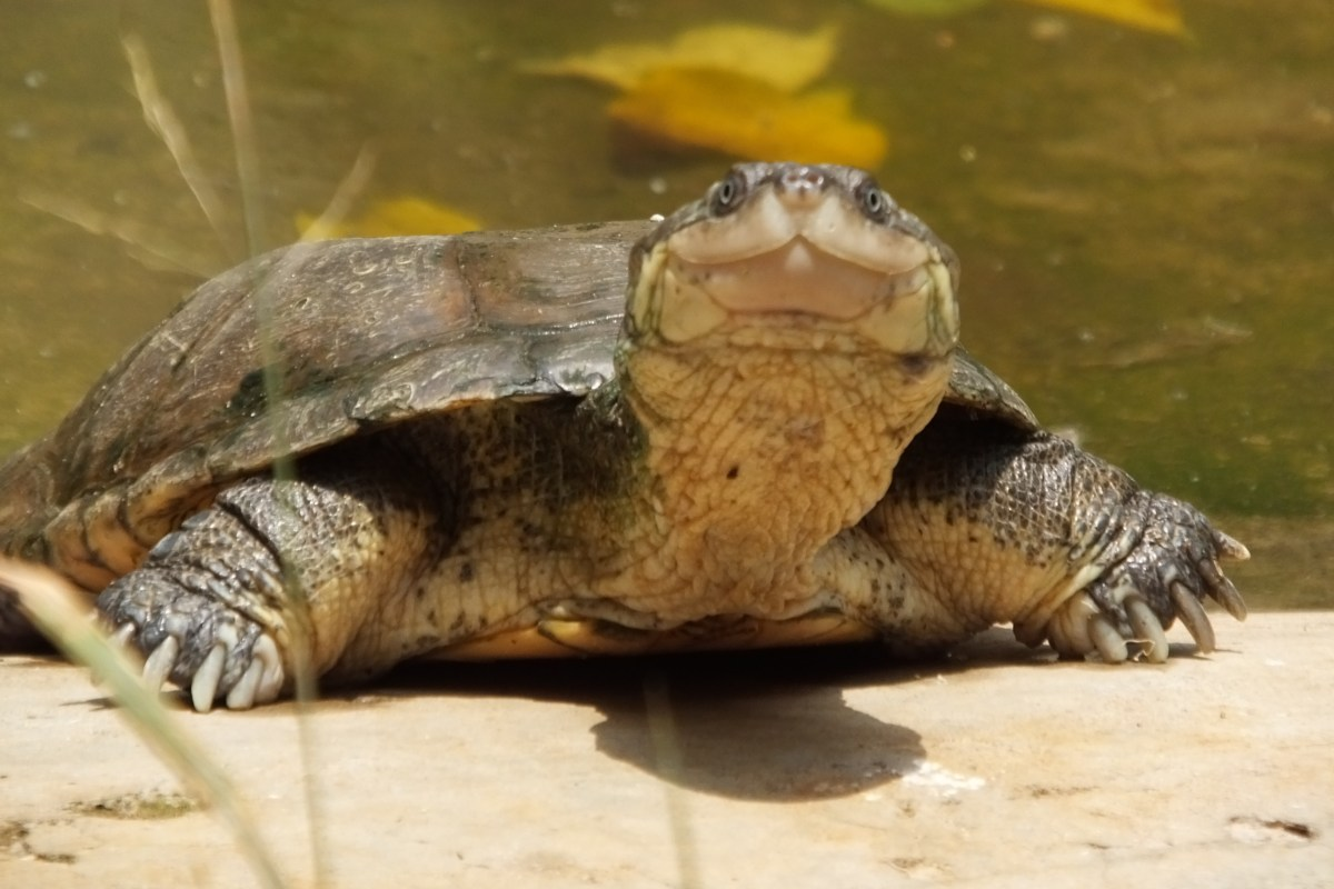 Tortoises and Turtles: Legs or flippers? | SIMILAR BUT DIFFERENT IN ...