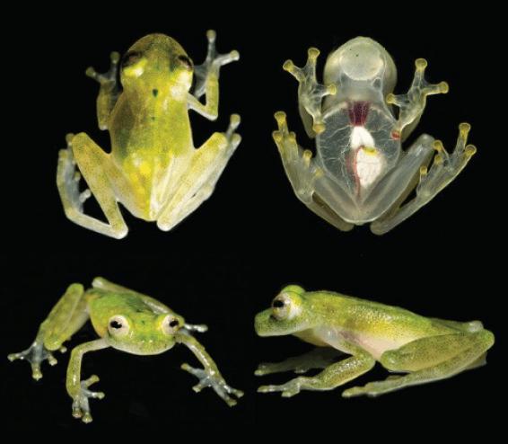 Glass frog - Jaime Culebras